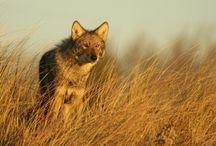 ANIMAL • Coyote