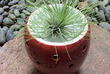 Tillandsia / Plant