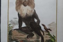 Monkeys Old and Real / Old monkey engravings, hand colored and photos of real monkeys.