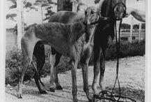 Greyhound History