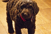 Labradoodles / by Donna Gilbert