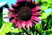 Hehkuva kukkapenkki / Mahdollisia kasveja aurinkoiseen kukkapenkkiin, lämpimien sävyjen kukkia.