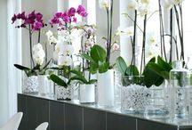 Orkide aşkı