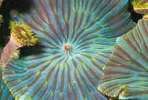 Corales