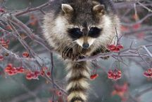 """A"" is for Animals...Raccoons ❖ / by Tania Nimpha"