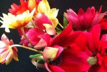 Anémones / Fleurs