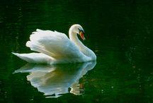 Cygnes Swans Schwäne Cisnes Cigni...