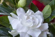 Fleurs / Fleurs odorantes