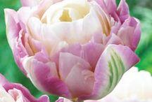 Tulips, Roses & Dahlias