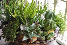 """Garden: Succulent Theme Gardens / Specific theme/specialty succulent gardens, e.g. Undersea and tide pool succulent gardens, wall g., driftwood s.g., chair and table succulent g. Also specific succulent specimens/plants used in the """"succulent theme garden"""" creations."""