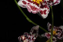 Wilsonara orkideat