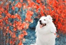beautiful dogs / samoyed