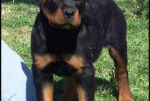 Rotty Love / My new love of Rottweilers