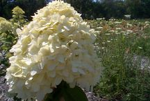 Hydrangea / Large snowball heads can make a statement all on their own! Locally grown and ready to make a statement in your designs.