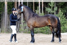 New Forest Pony / country of origin - England | average height 122-147 cm | colours - bay/brown, chestnut, dilutes (cream) | uses - general riding, sport pony, driving