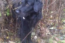 Balder / Labrador retriever...and a lot more....