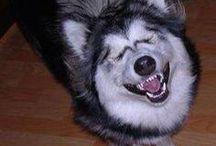 Husky Musky