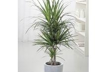 Plantes d'intérieur / Différentes plantes que l'on peut intégrer dans un salon, une salle à manger etc