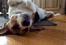 Cooper / Beagles