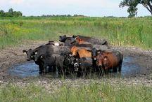 Cattle Island Sambalpur