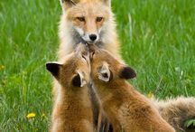baby foxes kissing mama