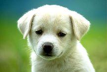 Labrador retriever / Labrador retriever è il cane di razza più favorito.