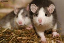 Kleine knagers / Alles over hamsters, gerbils en tamme ratten!