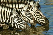 Zebra - Large , Hoffed Mammals / Each Zebra has a unique pattern of  black and white stripes