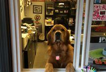 Diesel / Diesel is the Shop Mascot .... Golden Retriever!! He thinks he needs to Greet everyone!