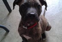Staff Pit Mix LA PAK: Cezar / Our Baby Cezar....We crush on him all day :-)