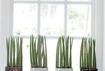 strakke plant
