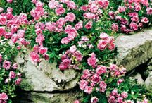 Cascading flowers for pots and planters