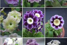 Spring / Vår blom