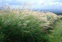 Plants_grasses