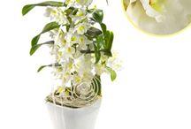 Zimmerpflanzen- & Topfpflanzen / Zimmerpflanzen und Topfpflanzen zum bestellen und versenden im bundesweiten Blumenversand oer Masuklick im Internet unter http://blumen-verschenken.eu/zimmerpflanzen_und_topfpflanzen/