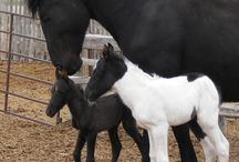 Baby Horses / Ponies and foals