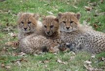 Safari Peaugres