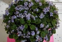 Favorite trailing violets / A few of our favorite trailing African violets.
