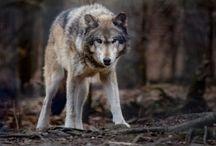 ANIMAL • Wolf