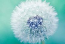Wish maker pics x / For all things dandelion x
