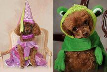 Nikki the Toy Poodle