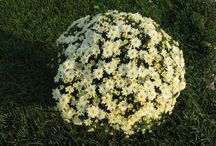 Krizantém - Chrysanthemum