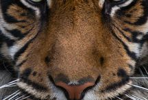 Tigers / The tiger (Panthera tigris) is the largest cat species.The largest tigers have reached a total body length of up to 3.38 m (11.1 ft) over curves and have weighed up to 388.7 kg (857 lb) in the wild. The species is classified in the genus Panthera with the lion, leopard, jaguar and snow leopard. Tigers are apex predators, primarily preying on ungulates such as deer and bovids. They are territorial and generally solitary but social animals.