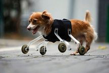 Animals with prosthesis