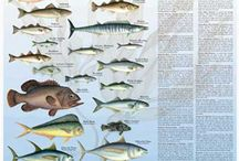 Cooking Sustainable Fish / Illustrated Guide to Sustainable Fish Choices and pins of delicious sustainable fish recipes. / by Charting Nature
