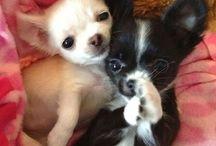 Chihuahua !!!