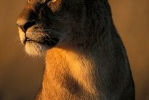 Lion / Löwe (my favourite Cats of Prey)