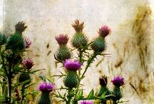 Thistles / Thistles remind me of Scotland. They are thorny and tough, yet stunningly beautiful. I would love a thistle tattoo  / by Sierra Rumary