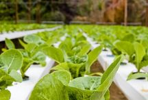 Hydroponics Gardening / If you've ever been interested in growing some of your own food, but the lack of a garden plot or yard has kept you from pursuing it, hydroponics gardening is the perfect set up for you.