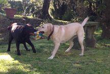 Labrador / My best friends